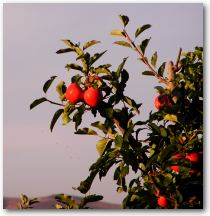 Picture of Apples on a tree with the sky in the background